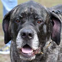 Rowen - Brindle Female American Mastiff