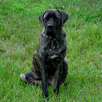 Max - Brindle Male American Mastiff