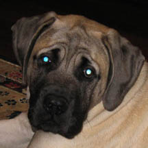 Hugo - Fawn Male American Mastiff