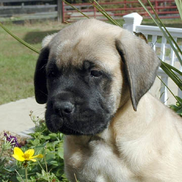 Otis - Fawn Male American Mastiff