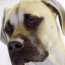 Riley - Fawn Male American Mastiff