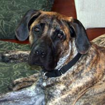 Tigger - Brindle Male American Mastiff