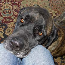 Remi - Brindle Female American Mastiff