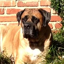 Newman (in GA) - Apricot Male American Mastiff