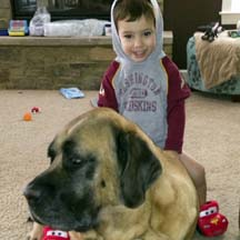 Newman (in MD) - Apricot Male American Mastiff