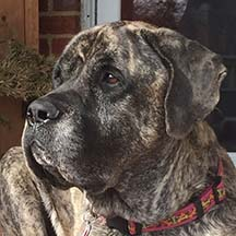 Raven - Brindle Female American Mastiff