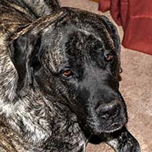 Shadow - Brindle Male American Mastiff