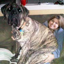 Moose - Brindle Male American Mastiff