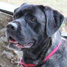 Pixie - Brindle Female American Mastiff
