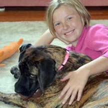 Gidget - Brindle Female American Mastiff