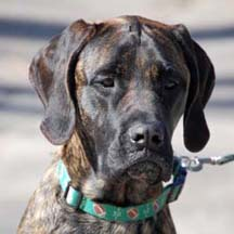 Lakota - Brindle Female American Mastiff