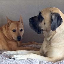 Lyra - Fawn Female American Mastiff