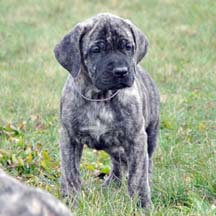 Eli - Brindle Female American Mastiff