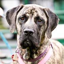 Mitzi - Brindle Female American Mastiff