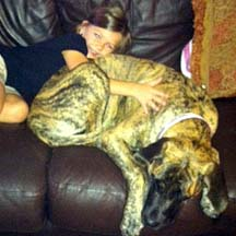 Maggie - Brindle Female American Mastiff