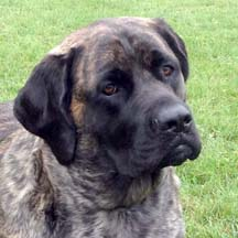 Lucy - Brindle Female American Mastiff
