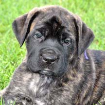 Bay - Brindle Female American Mastiff