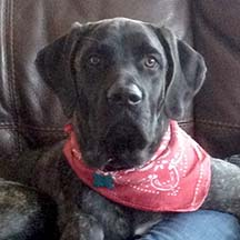 Onyx - Brindle Female American Mastiff