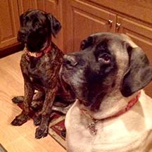 Ellie - Brindle Female American Mastiff