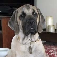 sampson - Fawn Male American Mastiff