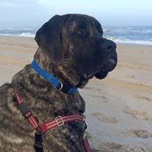 Winston - Brindle Male American Mastiff