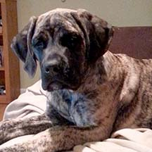 Lilly - Brindle Female American Mastiff