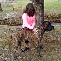 Rig - Brindle Male American Mastiff