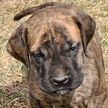 Dalton - Brindle Male American Mastiff