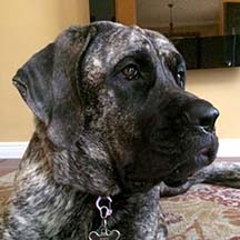 zoey - Brindle Female American Mastiff