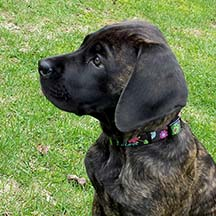 Emma - Brindle Female American Mastiff