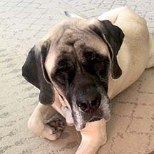 Packer - Fawn Female American Mastiff