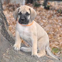 Remington - Fawn Male American Mastiff