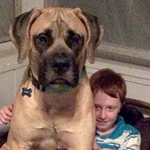 Kingsley - Apricot Male American Mastiff
