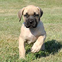 Kirby - Fawn Male American Mastiff