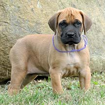 Willow - Apricot Female American Mastiff