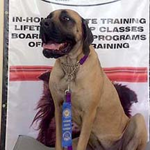 Apricot Female American Mastiff