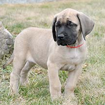 Fawn Female American Mastiff