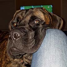 Huck - Brindle Male American Mastiff