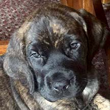 Harper - Brindle Female American Mastiff