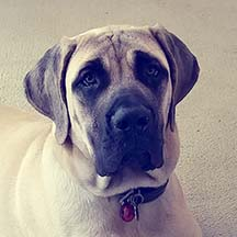 LuLu - Fawn Female American Mastiff