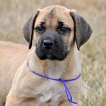 Maddy - Apricot Female American Mastiff