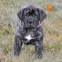 Porter - Brindle Male American Mastiff