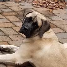 Kona - Fawn Female American Mastiff
