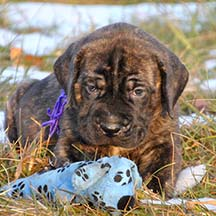 Gypsy Danger - Brindle Female American Mastiff