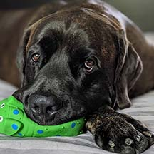 Duke - Brindle Male American Mastiff