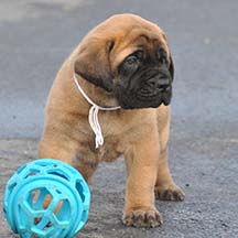 Bear - Apricot Male American Mastiff