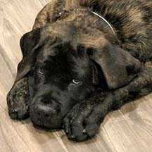 Nelson - Brindle Male American Mastiff