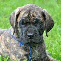 Diesel - Brindle Male American Mastiff