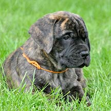 Baron - Brindle Male American Mastiff
