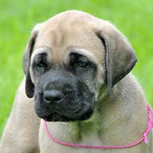 Lucy - Fawn Female American Mastiff